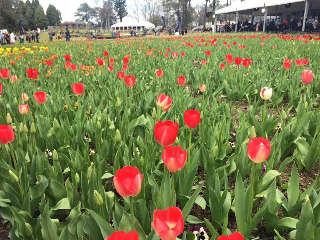 02 Red tulips iPhone 6