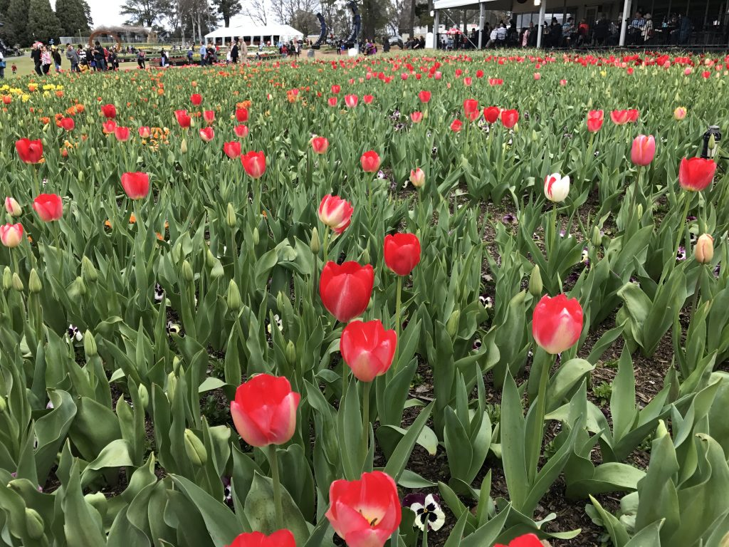 02 Red tulips iPhone 7