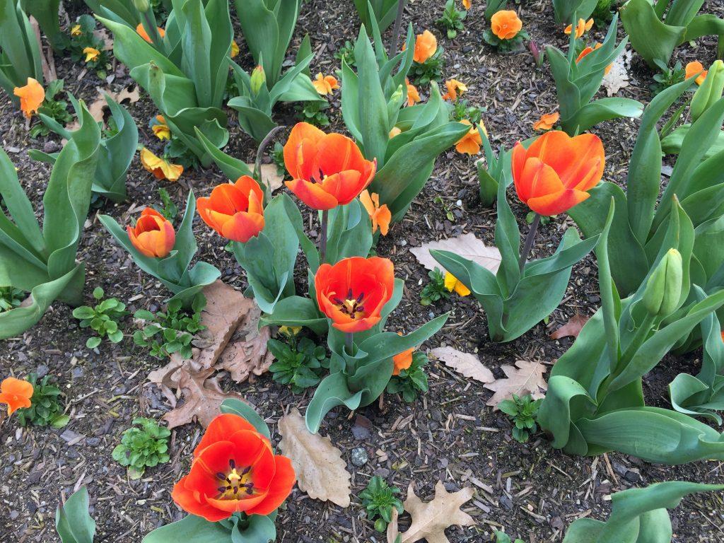 05 Orange tulips iPhone 6
