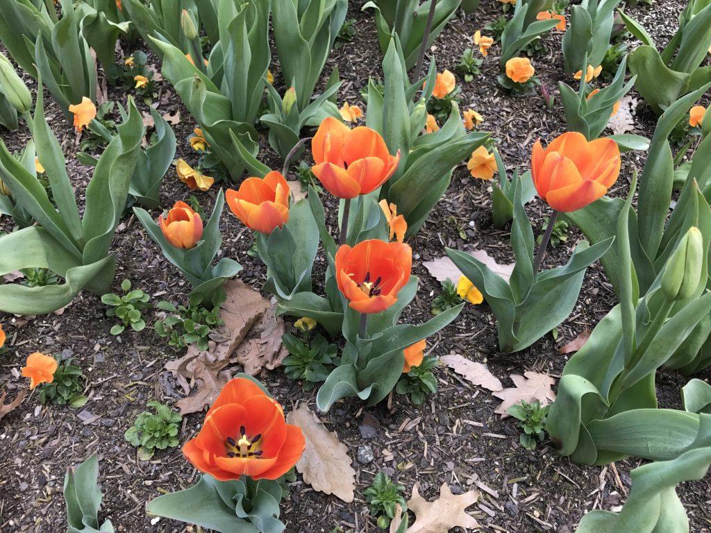 05 Orange tulips iPhone 7