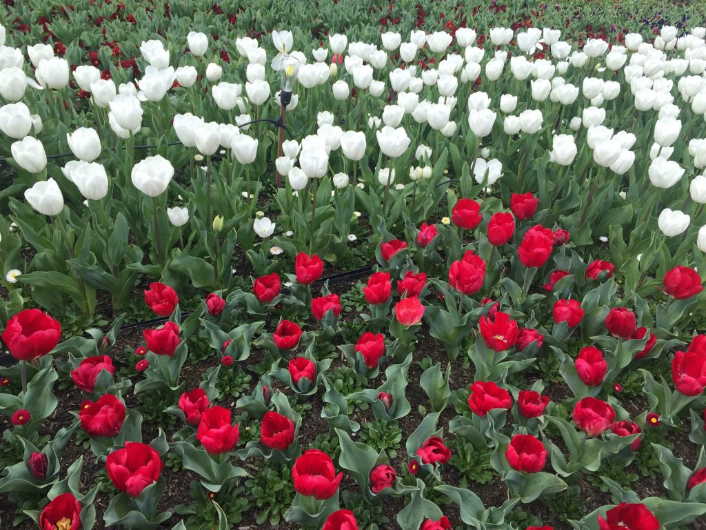 06 Red & white tulips iPhone 6