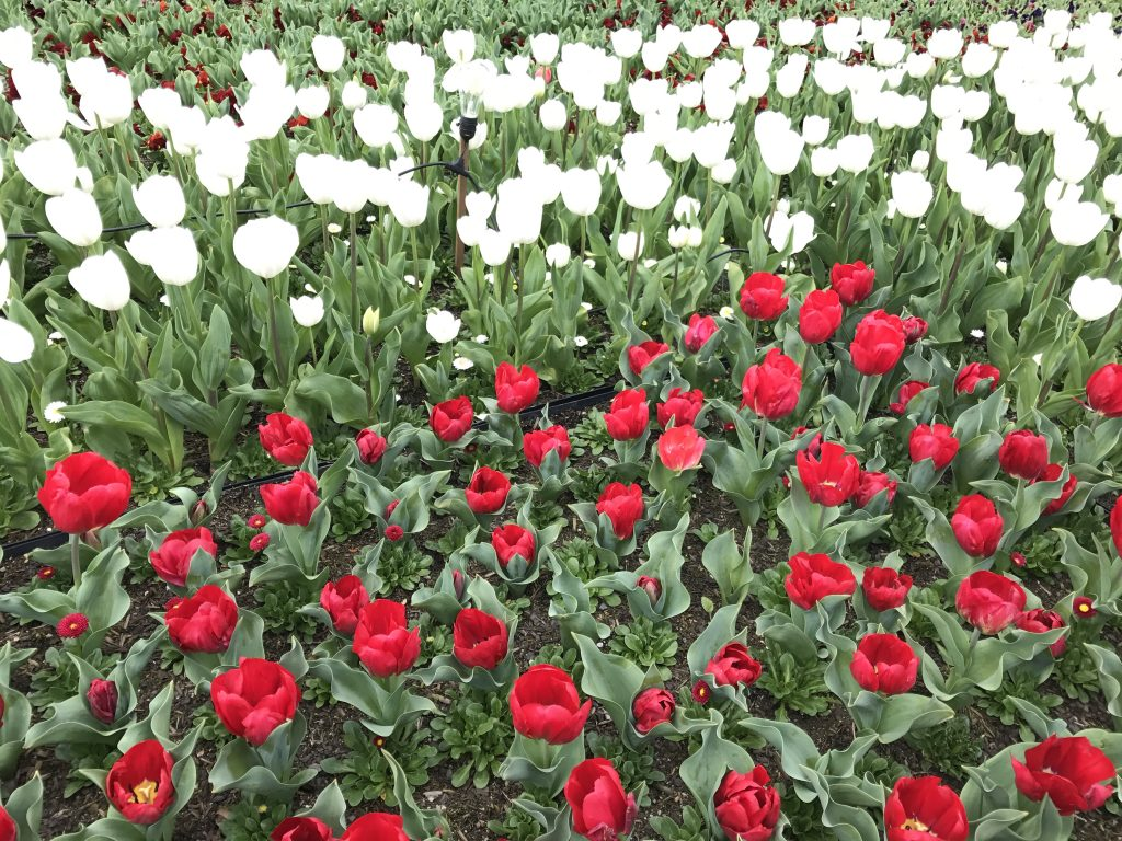 06 Red & white tulips iPhone 7