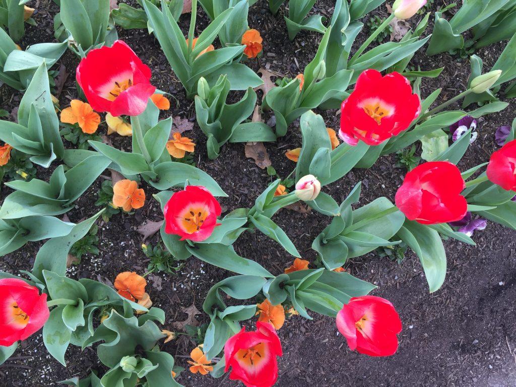 10 Red tulips closeup iPhone 6
