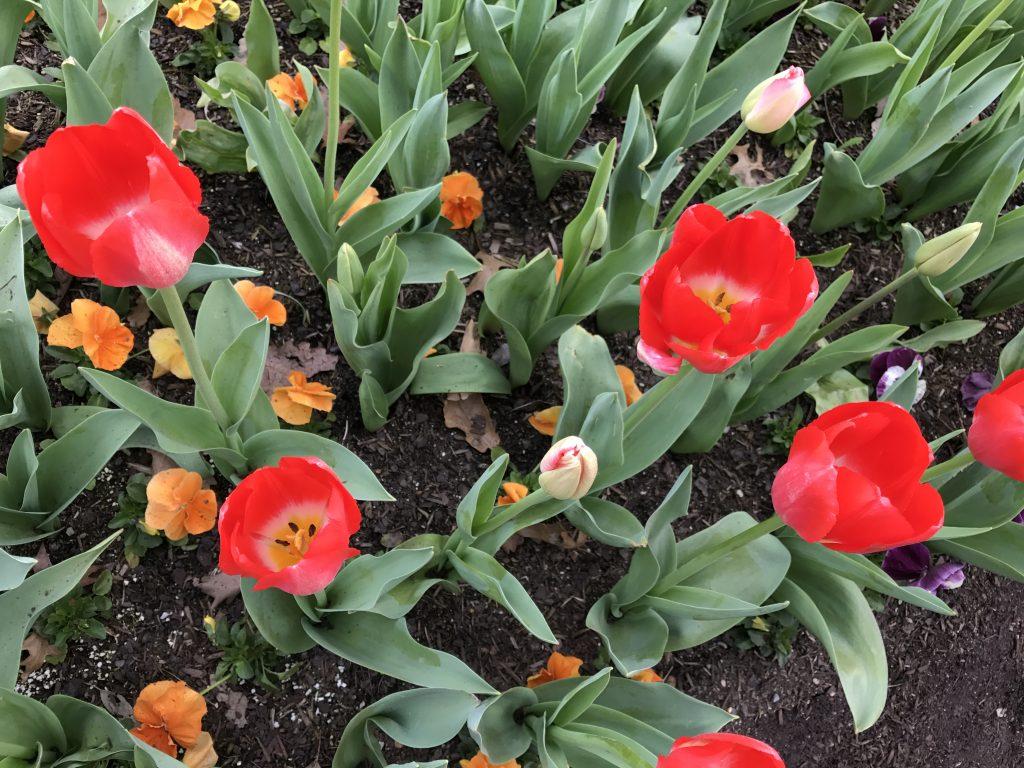 10 Red tulips closeup iPhone 7